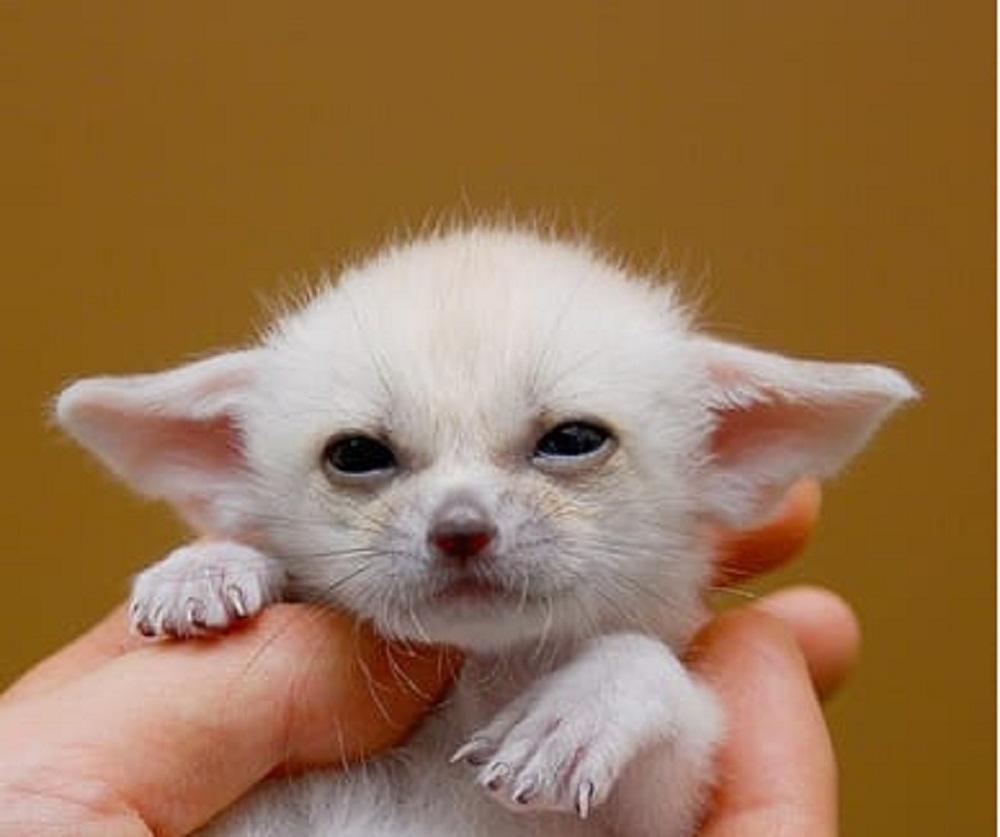Baby-Fennec-Fox