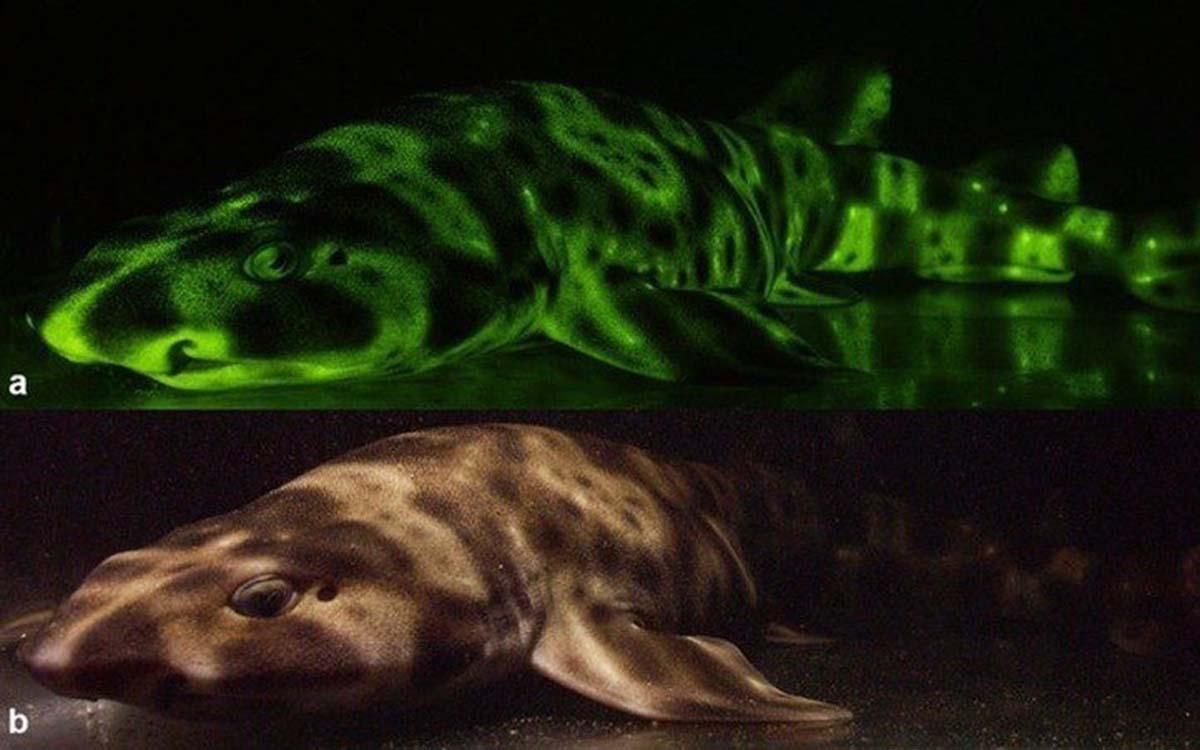 shark-glow