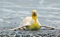 پنگوئن زرد قناری!