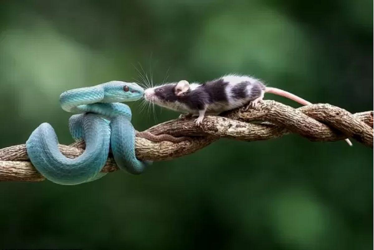 (تصاویر) بوسه مرگ، افعی آبی یک موش را بلعید!