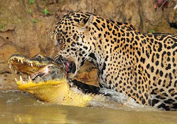 ویدیو حیرتانگیز و نادر از شکار شدن یک تمساح توسط دو پلنگ